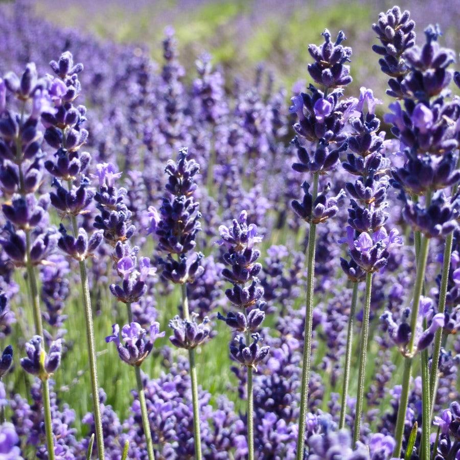 lavendin